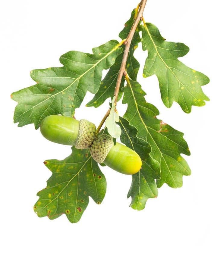 Piante di guarigione: ramoscello del quercus della quercia su fondo bianco fotografia stock libera da diritti