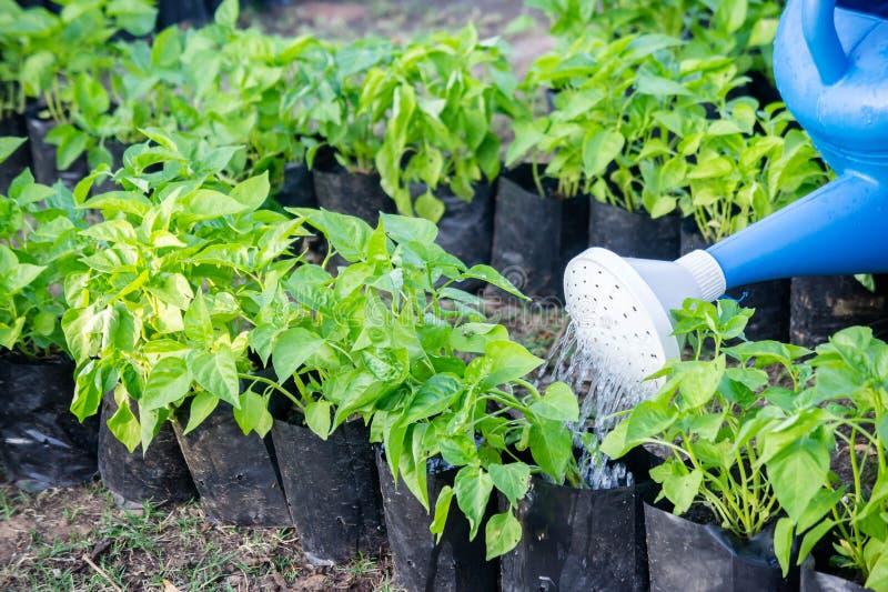 Piante di innaffiatura che innaffiano le verdure nel giardino della natura fotografia stock
