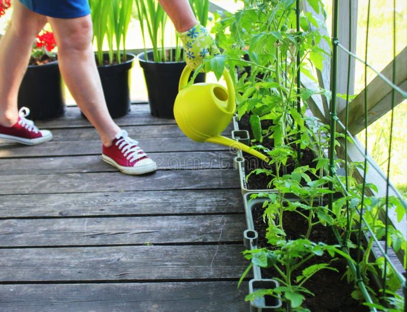 Piante di innaffiatura del giardiniere delle donne Piccola coltura del contenitore Orto su un terrazzo Fiore, crescita dei pomodo immagini stock