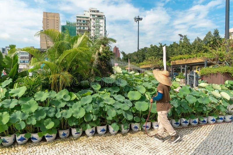 Piante di Lotus nel centro di Macao immagine stock