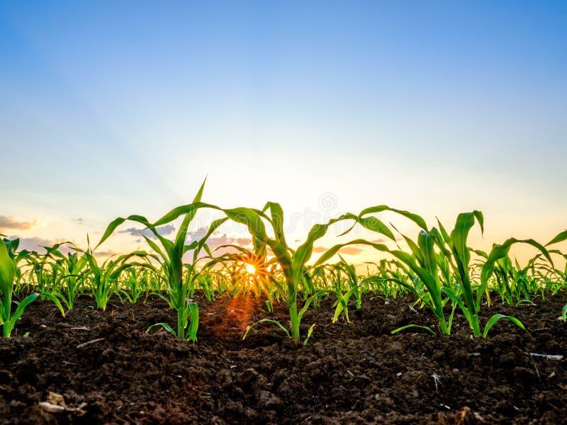 Piante di mais del cereale verde su un campo fotografia stock libera da diritti