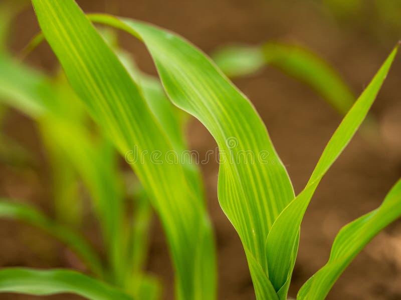 Piante di mais del cereale verde su un campo immagini stock libere da diritti