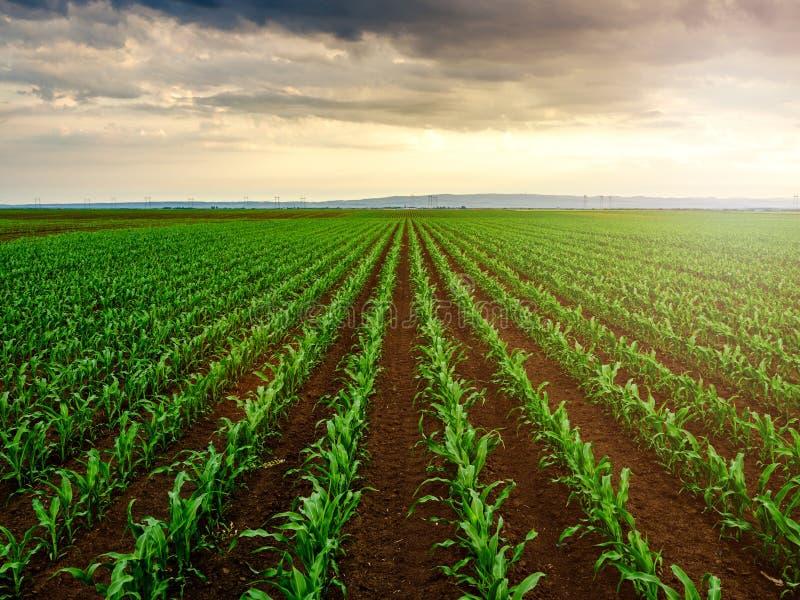 Piante di mais del cereale verde su un campo fotografie stock