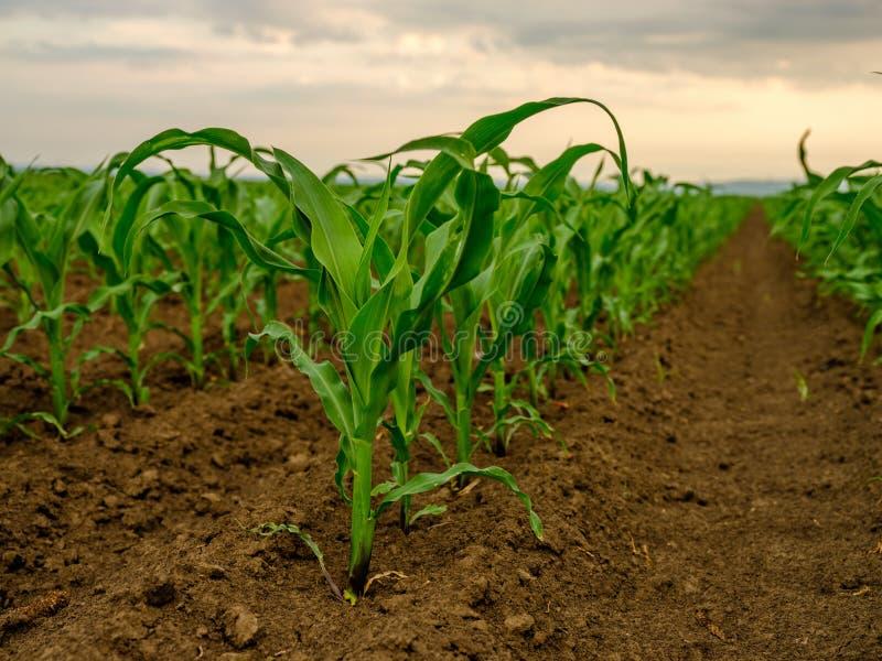 Piante di mais del cereale verde su un campo fotografie stock libere da diritti