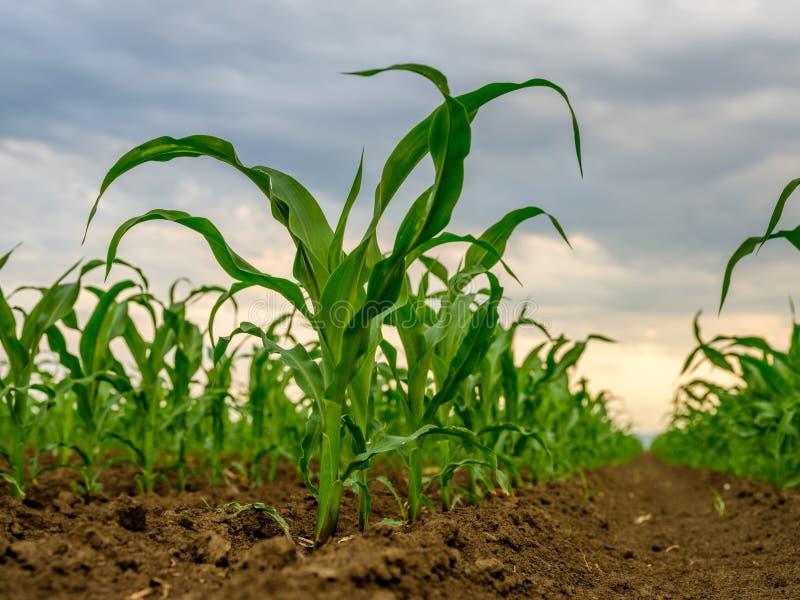 Piante di mais del cereale verde su un campo fotografia stock