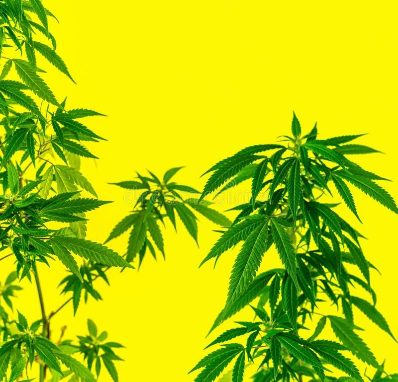 Piante di marijuana della cannabis contro fondo giallo fotografie stock