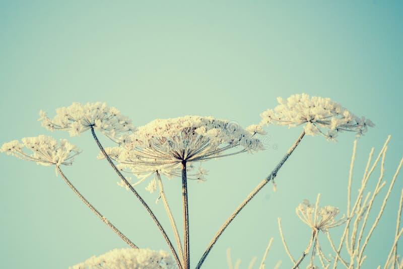 Piante di ombrello nel gelo sui precedenti di cielo blu fotografie stock libere da diritti