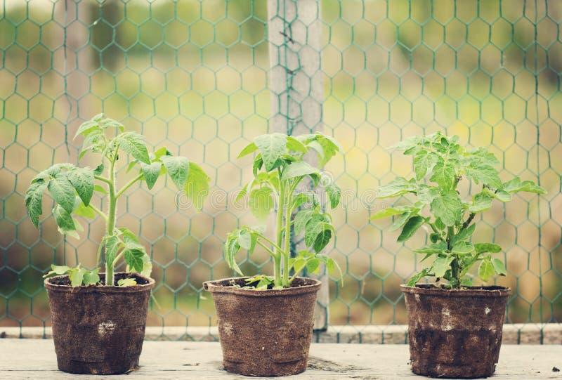 Piante di pomodori fotografie stock libere da diritti