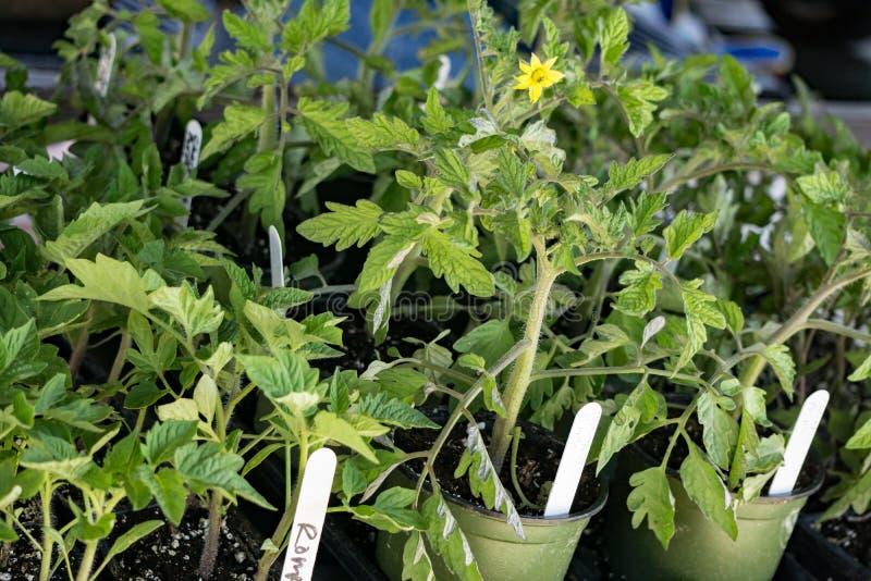 Piante di pomodori fotografia stock
