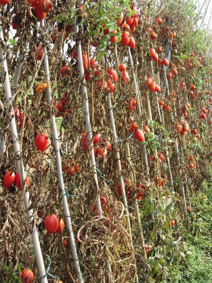 Piante di pomodori con i pomodori maturi alla conclusione della stagione nel giardino La Toscana, Italia immagine stock libera da diritti