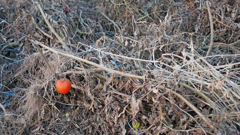 Piante di pomodori guastate secche dopo la raccolta fotografia stock libera da diritti