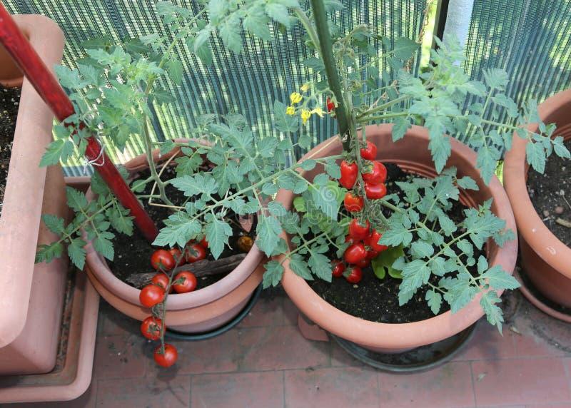 Piante di pomodori nei vasi del balcone con un mazzo di verdure rosse fotografie stock