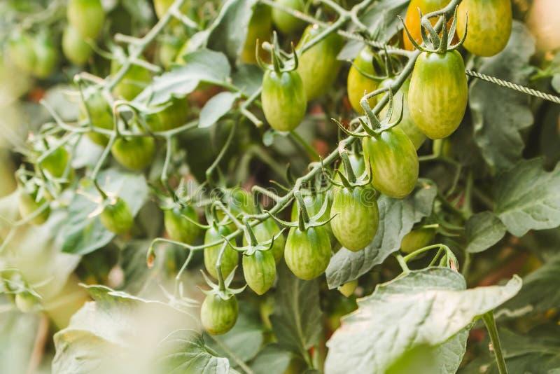 Piante di pomodori organiche mature che crescono su un ramo fotografia stock