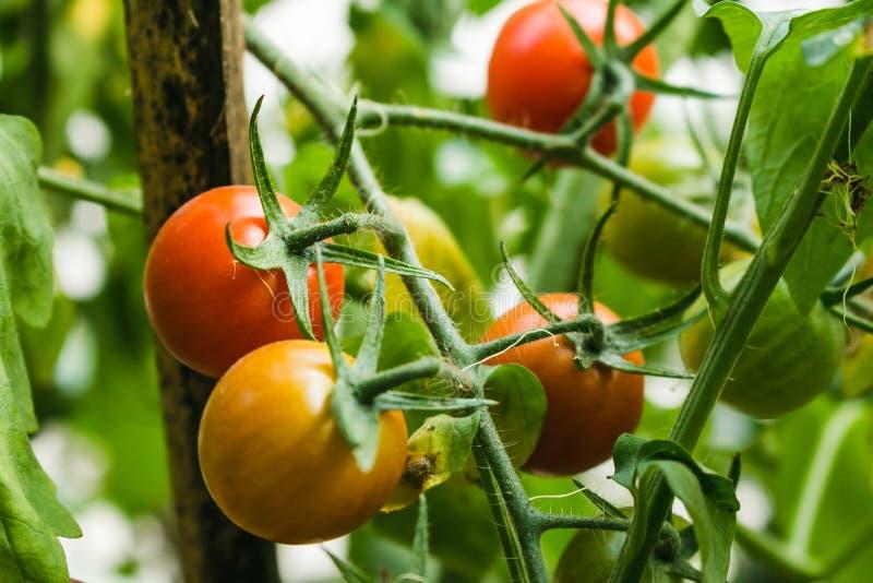 Piante di pomodori organiche mature che crescono su un ramo fotografia stock libera da diritti