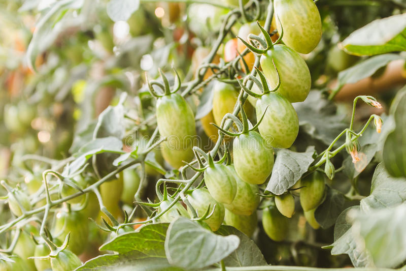 Piante di pomodori organiche mature che crescono su un ramo immagine stock