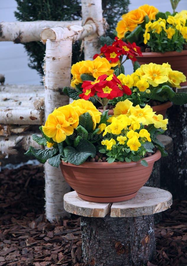 Piante di primavera di primla fotografia stock immagine for Piante di lamponi acquisto