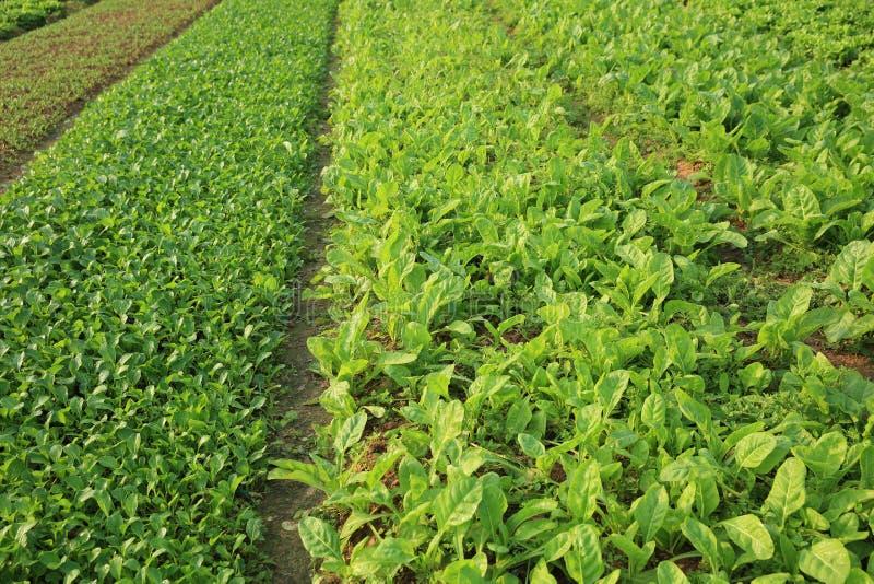 Piante di verdure di varietà nella crescita immagine stock