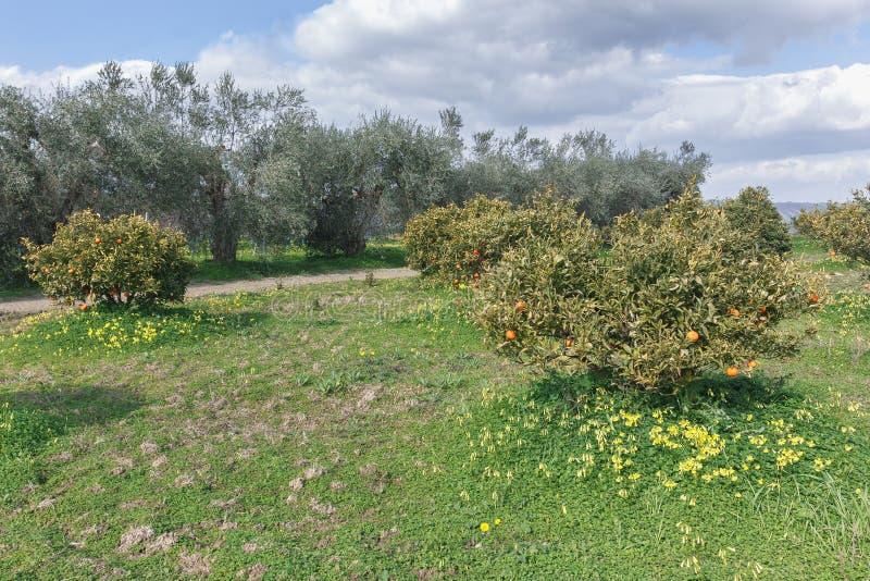 Piante e di olivo arancio sui precedenti fotografie stock libere da diritti