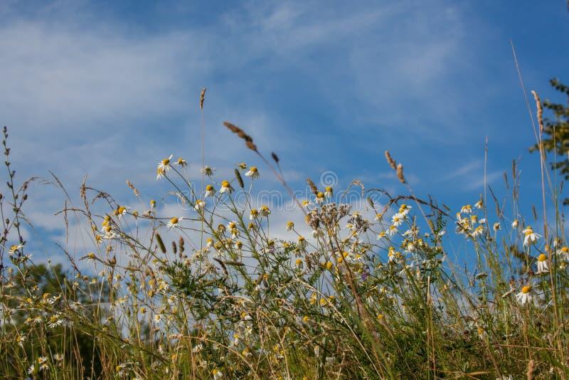 Piante e fiori selvaggi del campo fotografie stock