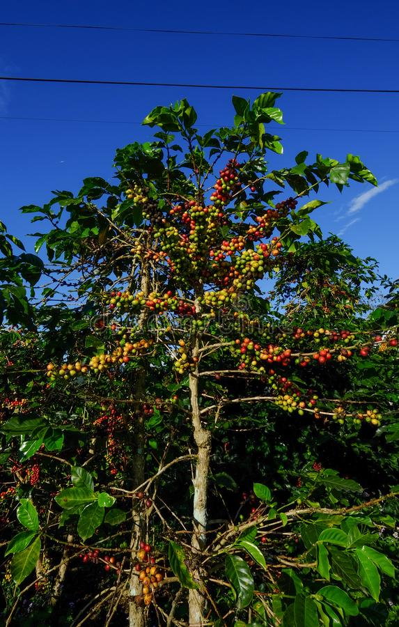 Piante e frutti del caffè in piantagione immagine stock libera da diritti