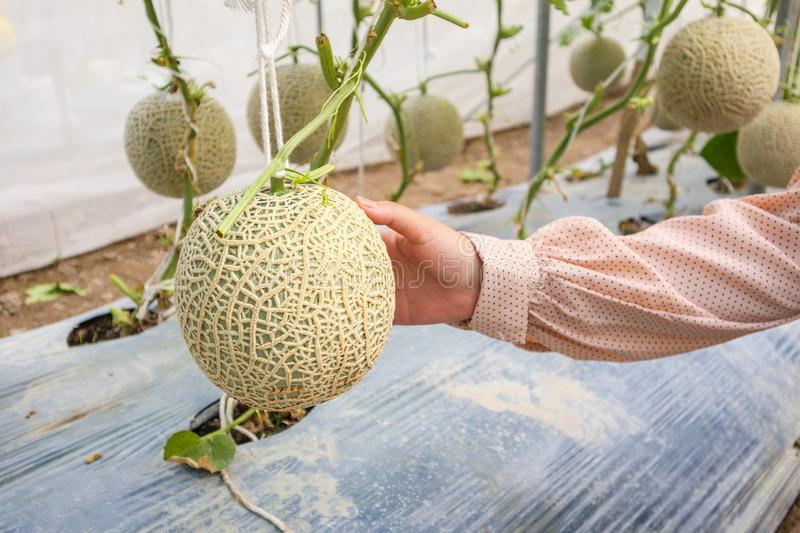 Piante giapponesi verdi fresche dei meloni del cantalupo della tenuta della mano della donna immagine stock