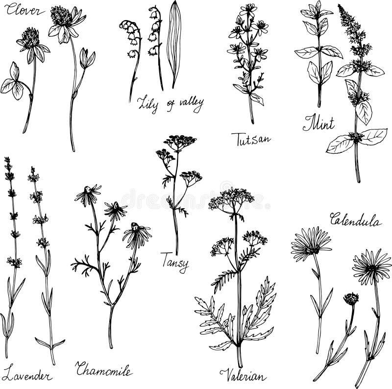 Piante medicinali disegnate a mano illustrazione vettoriale
