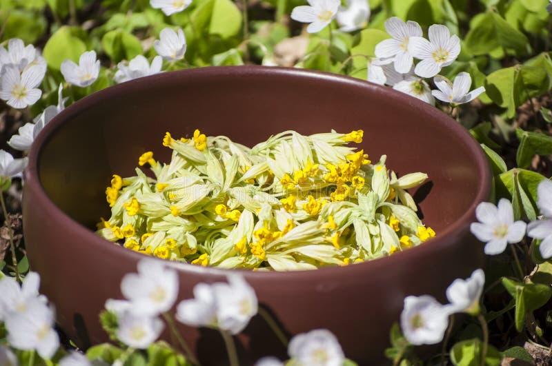 Piante medicinali nei fiori gialli di veris della primula di primavere odorose di primavera per tè e piccoli fiori bianchi con le fotografia stock libera da diritti