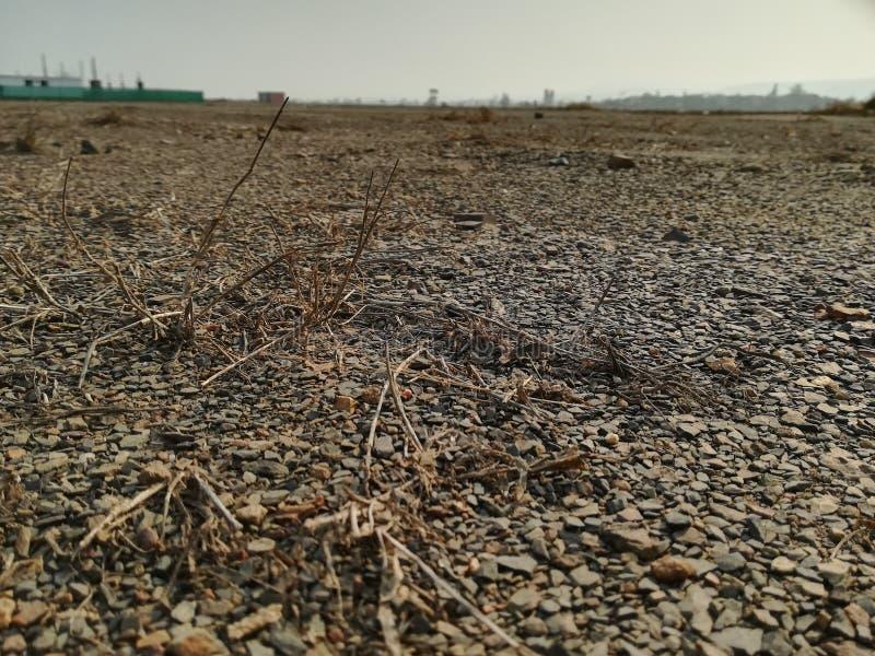 Piante morte e di morti nel campo colpito dalla siccità immagine stock libera da diritti
