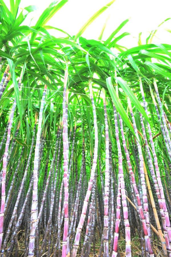 Piante nere della canna da zucchero fotografie stock libere da diritti