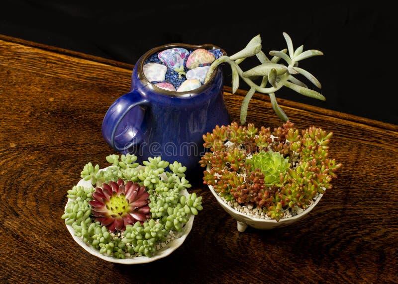 Piante succulenti fotografia stock libera da diritti