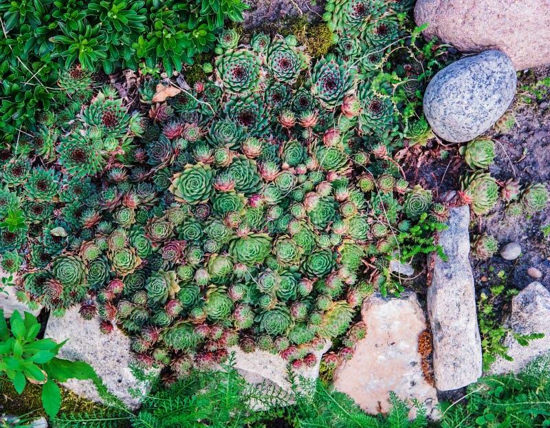 Piante succulenti Sfondo naturale landscaping fotografia stock libera da diritti