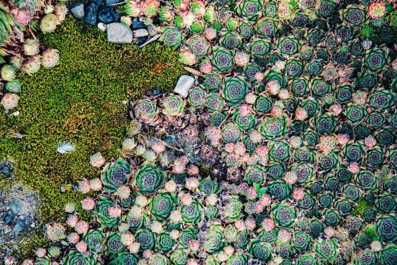 Piante succulenti Sfondo naturale landscaping immagine stock libera da diritti