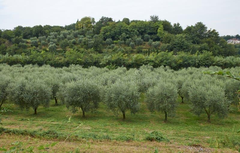 Piante verde oliva fotografia stock