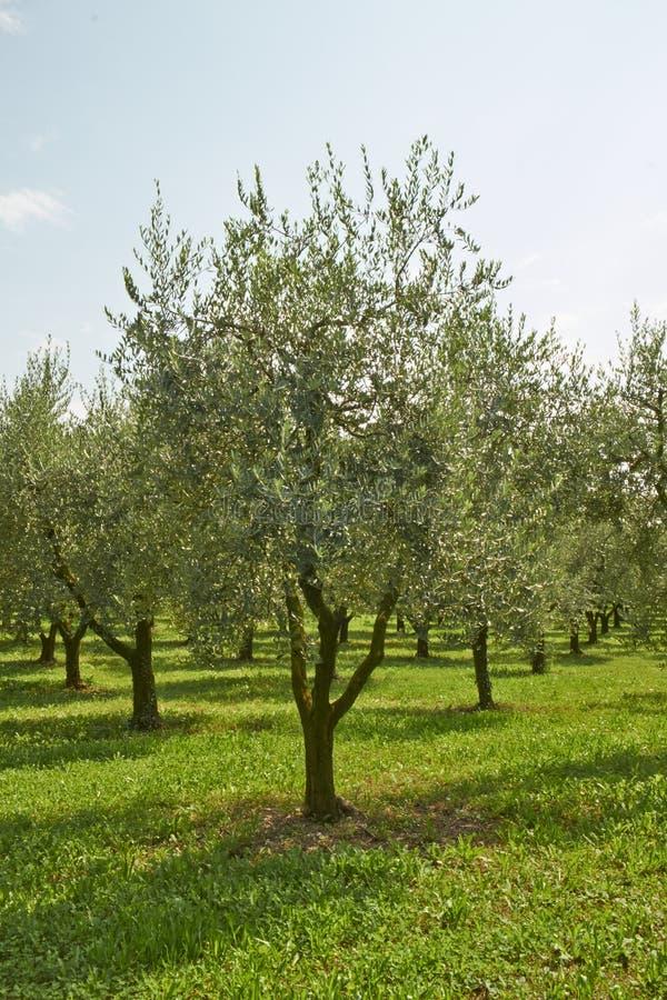 Piante verde oliva immagine stock libera da diritti