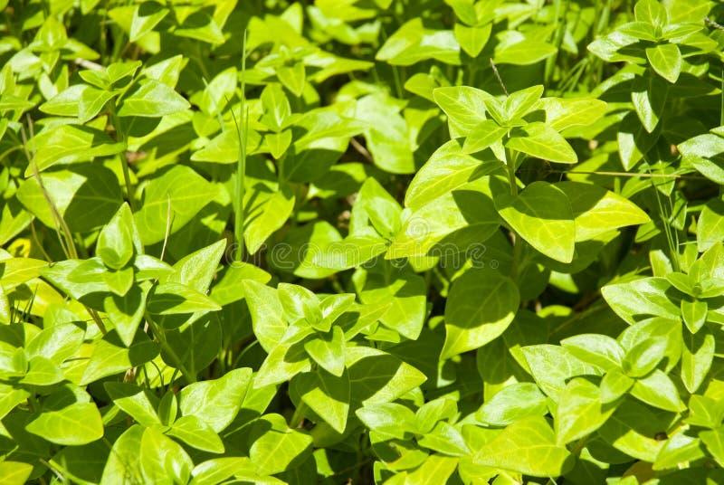 Piante verdi come priorità bassa immagine stock