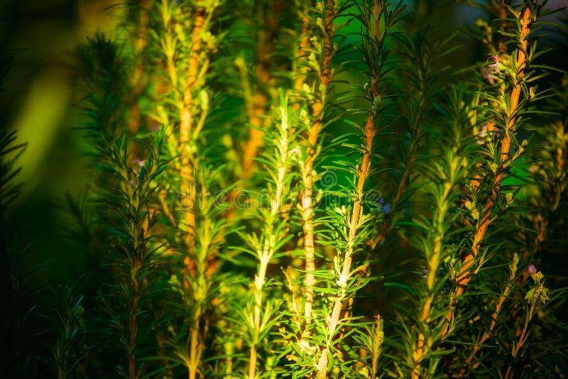 Piante verdi dei rosmarini in un giardino immagine stock