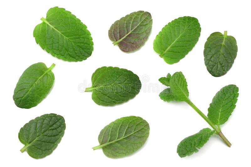 Piante verdi isolate su fondo bianco, proprietà aromatiche della foglia della menta della menta piperita di forti denti fotografia stock libera da diritti