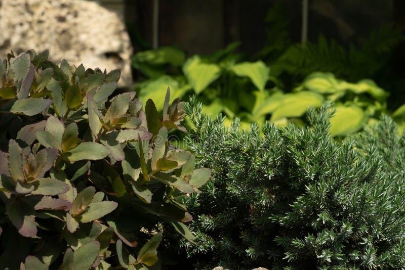Piante verdi nel giardino contro lo sfondo della pietra immagini stock