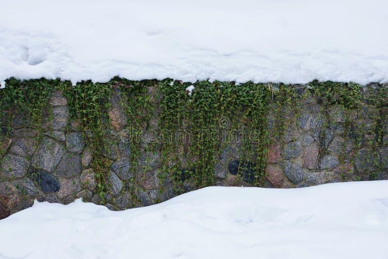 Piante verdi su una parete di pietra del fondamento in neve bianca fotografia stock