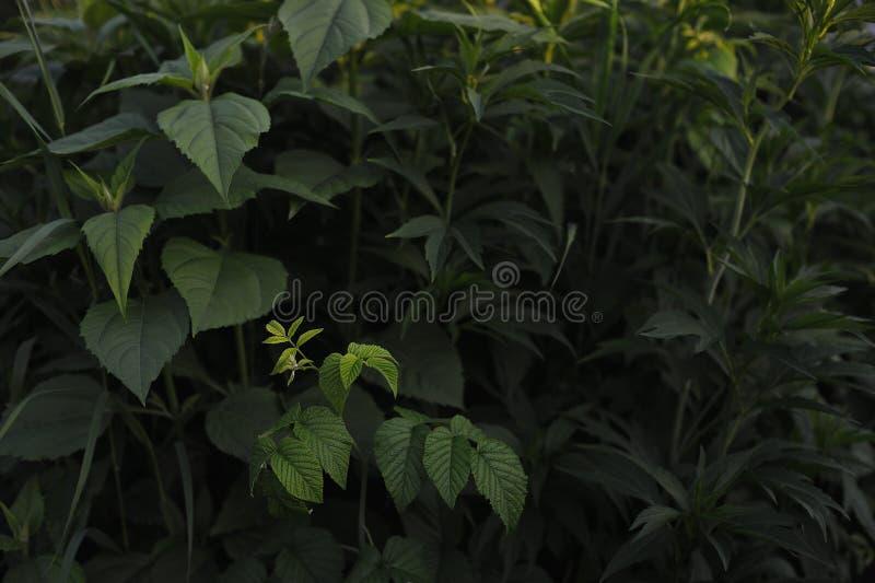Piante verdi Topinambur ed il lampone fotografia stock libera da diritti