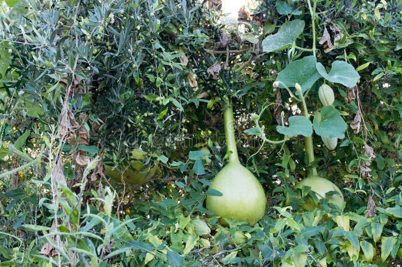 Piante verticali e frutti della zucca fotografia stock