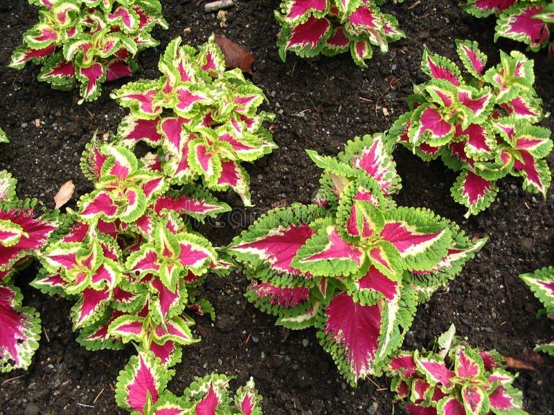 piante Viola-leaved fotografia stock libera da diritti