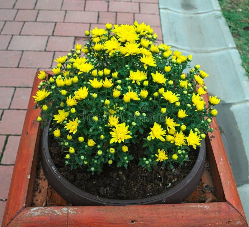 Pianti la fioritura con i fiori gialli in vaso sulla via fotografie stock