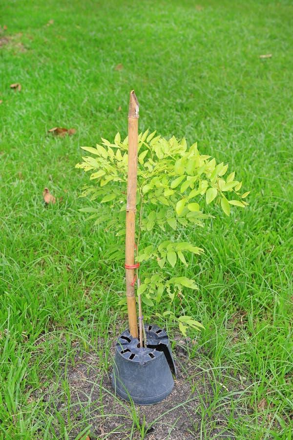 Pianti un giovane albero nel giardino dell'erba verde Nuovo concetto di vita fotografia stock libera da diritti
