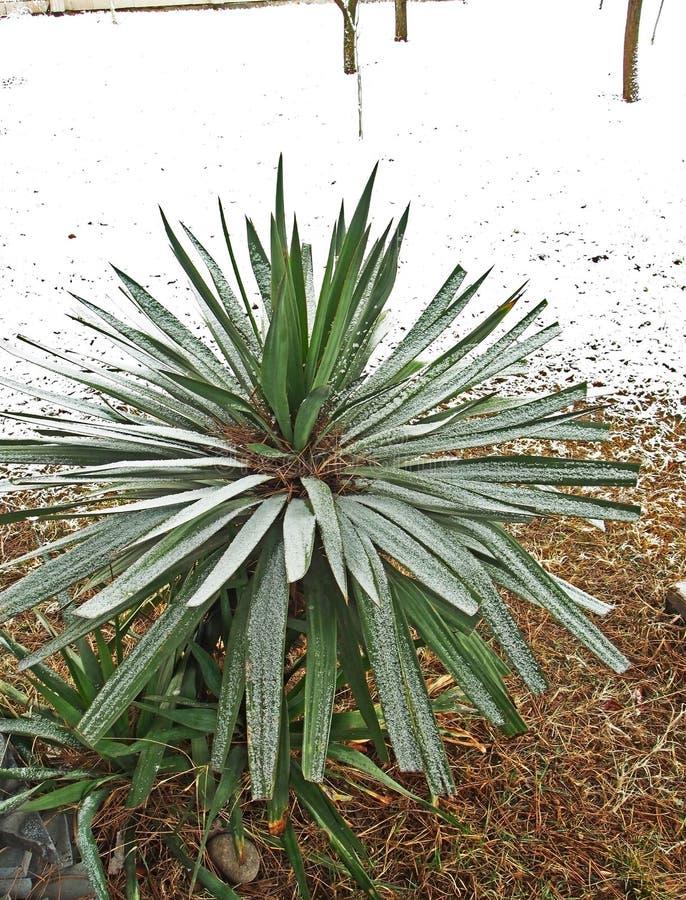 Piantina della palma coperta di neve immagine stock libera da diritti