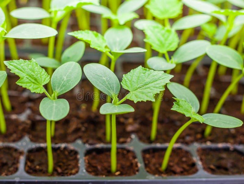 Piantina verde del cetriolo sul vassoio immagine stock
