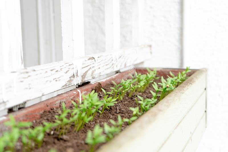 Piantine crescenti dei germogli del seme di coriandolo del coriandolo giovani in una piantatrice d'attaccatura, su un patio Appen immagine stock