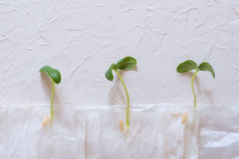 Piantine crescenti senza terra in carta fotografie stock libere da diritti