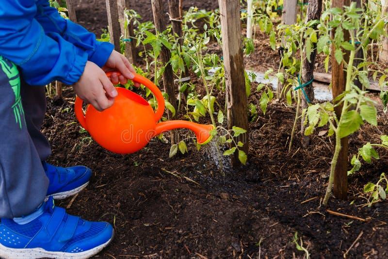 Piantine d'innaffiatura del pomodoro del bambino da un piccolo annaffiatoio arancio nel giardino fotografia stock libera da diritti