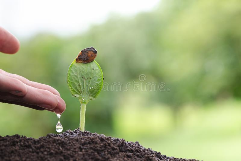 Piantine d'innaffiatura della mano, plantula d'innaffiatura, cura di nuova vita fotografie stock